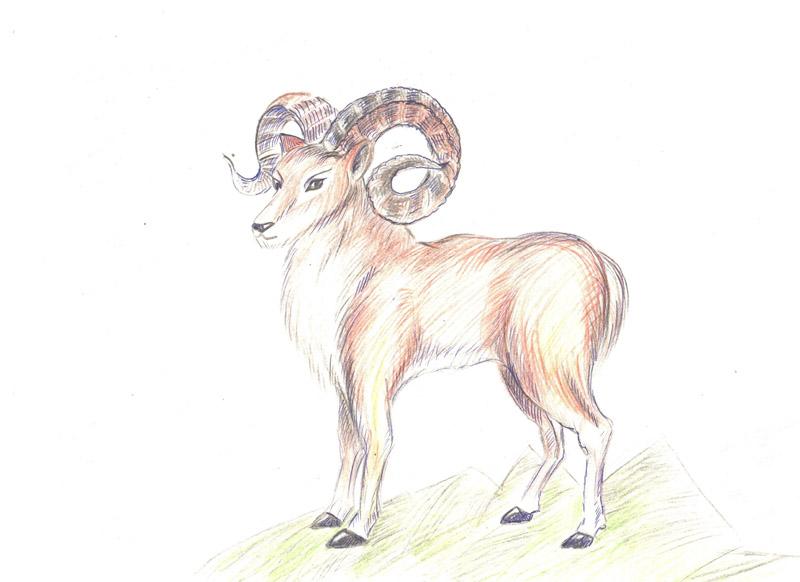 Алтайский горный баран картинка раскраска